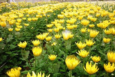 Làng hoa Thái Phiên