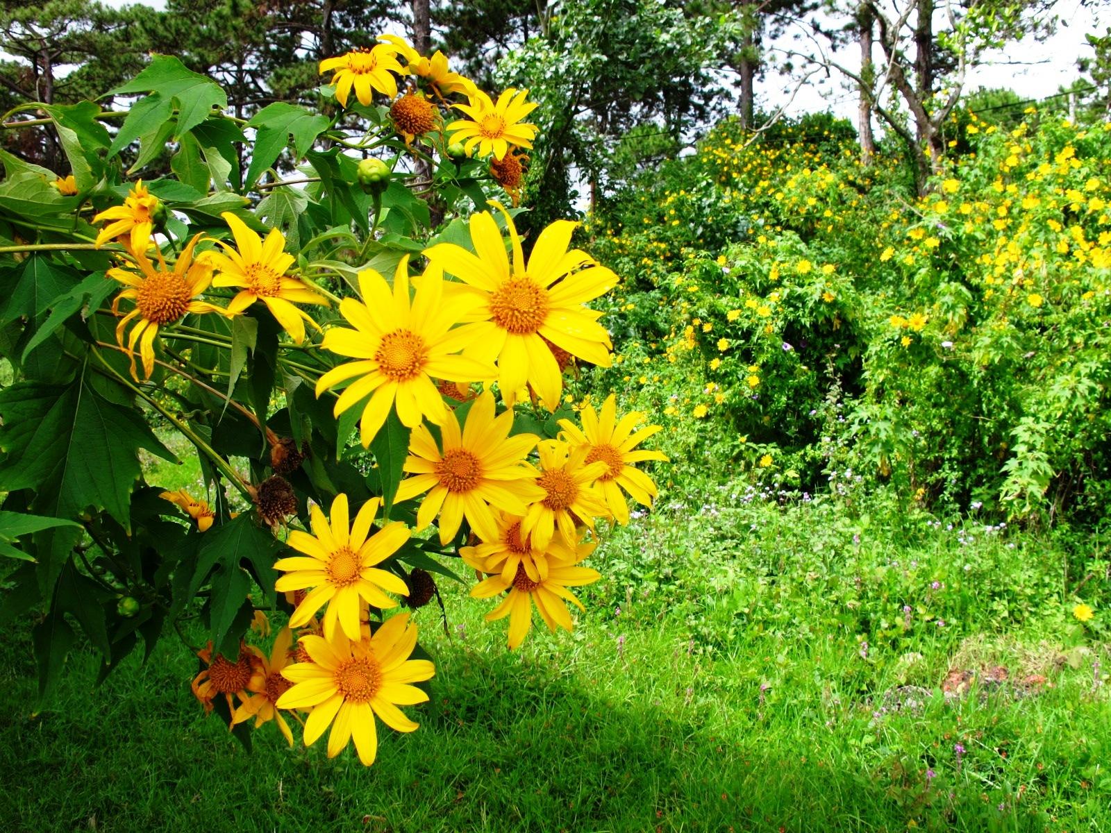 Những cung đường ngắm hoa Dã Quỳ đẹp nhất Đà Lạt