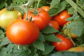 Cà chua lạ tăng giá kỷ lục tại Đà Lạt
