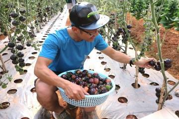Cơn sốt cà chua đen Đà Lạt và phương pháp trồng của người nông dân