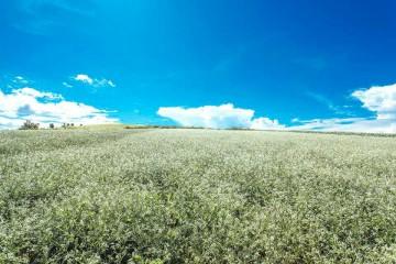 Địa chỉ cánh đồng hoa Cải trắng Đà Lạt