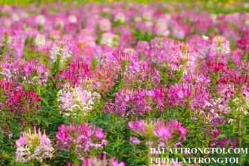 Du lịch Đà Lạt 2017 với cánh đồng hoa Hồng Ri xinh đẹp