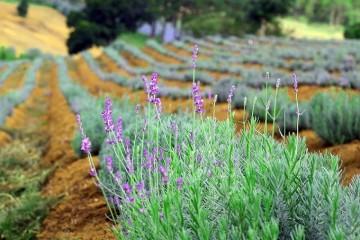 Cánh Đồng hoa Lavender rộng hàng hecta tại Đà Lạt