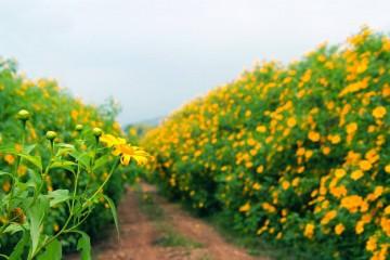 Đến Đà Lạt khi hoa Quỳ vừa hé nở