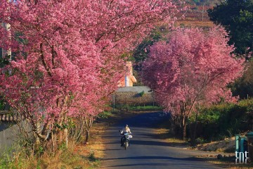 Đà Lạt hủy tổ chức lễ hội hoa Mai Anh Đào năm 2017