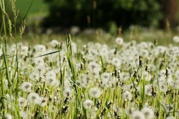 Tinh khôi với hoa Bồ Công Anh Đà Lạt