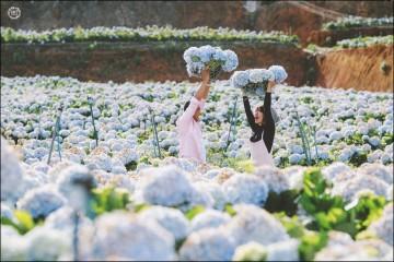 Cánh đồng hoa Cẩm Tú Cầu khổng lồ ở Đà Lạt