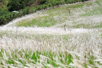 Ngọn đồi hoa cỏ Lau quyến rũ trong nắng chiều Đà Lạt tháng 4