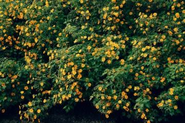 Rực rỡ sắc hoa Dã Quỳ Đà Lạt tháng 11