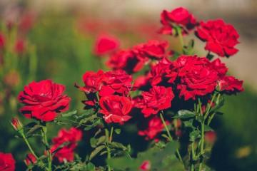 Hoa hồng Đà Lạt – Nét quyến rũ độc đáo riêng biệt