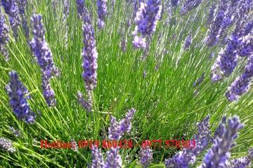Bán chậu hoa Lavender Đà Lạt tại vườn