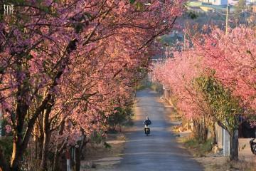 Đà Lạt mùa Xuân của hoa Mai Anh Đào