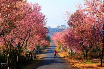 Lễ hội hoa Mai Anh Đào Đà Lạt sẽ dời lại sau tết Nguyên Đán