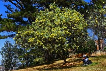 Mimosa nàng thơ của mùa xuân