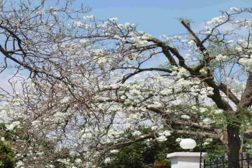 Mùa hoa Phượng trắng duy nhất tại Đà Lạt