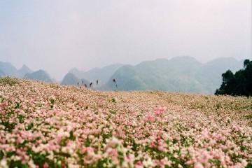 Truyền thuyết về hoa Tam Giác Mạch