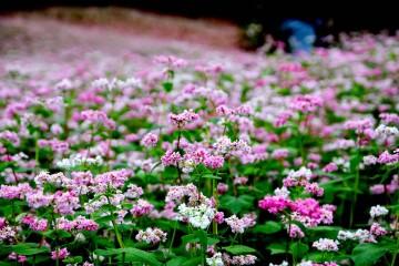 Đà Lạt sẽ trồng cánh đồng hoa Tam Giác Mạch đón tết Nguyên Đán 2017