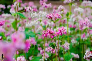 Địa chỉ cánh đồng hoa Tam Giác Mạch Đà Lạt