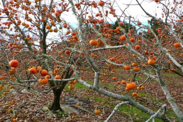 Thu Đà Lạt - Ngọt thơm mùa Hồng chín