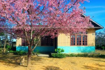 Nhà gỗ xinh dưới tán Mai Anh Đào - Khung cảnh bình yên đặc trưng của xuân Đà Lạt