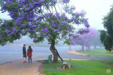 Đà lạt mùa hoa Phượng Tím tháng ba