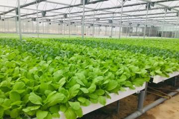 Vườn rau sạch thủy canh thu bạc tỷ mỗi năm ở Đà Lạt