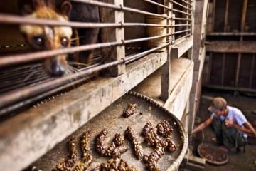 Cà phê chồn và sự tàn nhẫn của việc nuôi nhốt