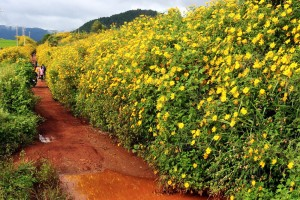 Đà Lạt, mùa vàng của hoa Dã Quỳ