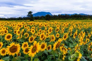 Tư vấn đường đến cánh đồng hoa Hướng Dương - Đà Lạt
