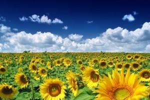 Tư vấn tham quan mùa hoa Cải và Hướng Dương - Đà Lạt