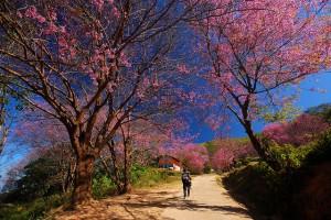 Mùa xuân Đà Lạt, mùa của hoa Mai Anh Đào