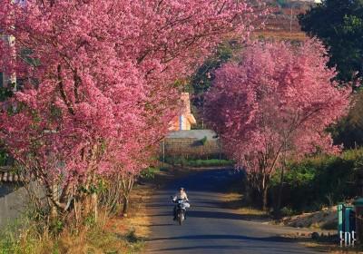 Đà Lạt mùa hoa Mai Anh Đào tháng ba