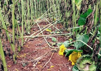 Cư dân mạng phẫn nộ trước hoa Cải và Hướng Dương ở Đà Lạt bị giẫm nát